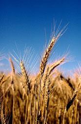 Хлеб, пшеница